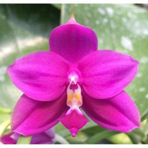 Phalaenopsis Yaphon Gem x Shingher Pure Love
