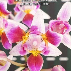 Phalaenopsis equestris '996' (peloric - 3 lips)