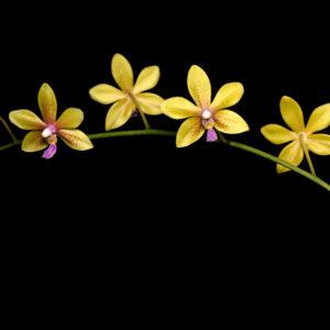 Phalaenopsis stobartiana x speciosa