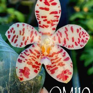 Phalaenopsis Gentleman Jack f. alba (tetraspis alba x gigantea alba) 'Mainshow'