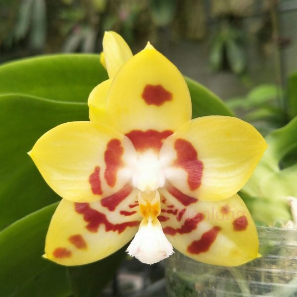 Phalaenopsis Chienlung Sweetheart 'Mainshow'