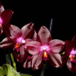 Phalaenopsis Zheng Min Jacaranda 'Yungho' Mainshow
