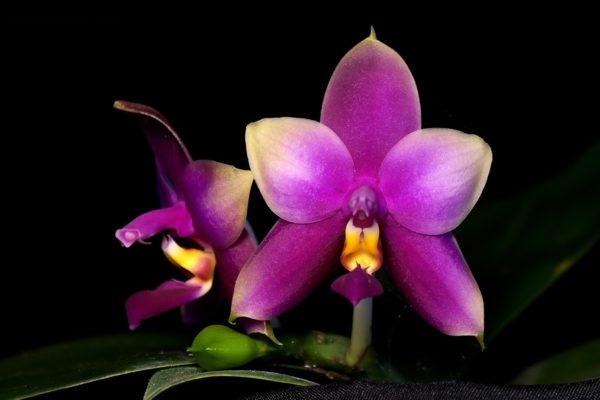 Phalaenopsis Princess Kaiulani coerulea x Samera