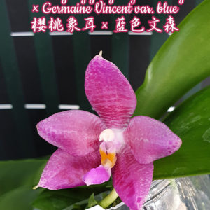 Phalaenopsis YangYang Gigan Cherry × Germaine Vincent var. blue