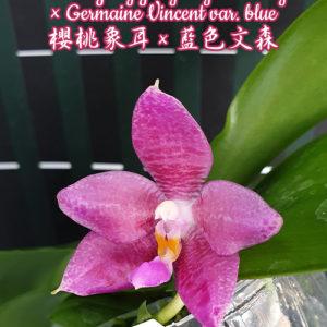 Phalaenopsis YangYang Gigan Cherry × Germaine Vincent var. blue
