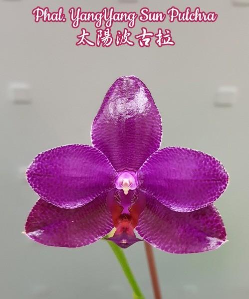 Phalaenopsis YangYang Sun Pulchra (Phal. Mituo Sun x pulchra)