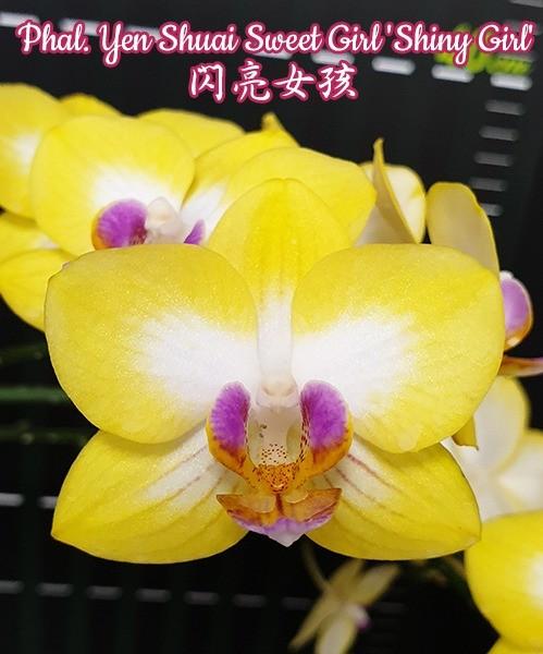 Phalaenopsis Yen Shuai Sweet Girl 'Shiny Girl'