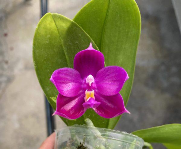 Phalaenopsis Shingher Pure Love x bellina coerulea