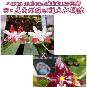 Phalaenopsis tetraspis 'C1' × cornu-cervi var. chattaladae (4N)