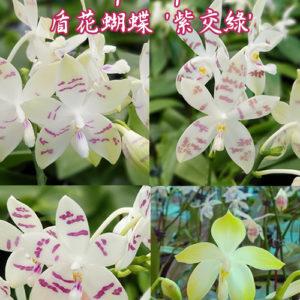 Phalaenopsis tetraspis 'Purple' × 'Green'