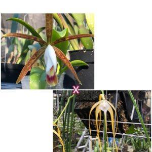 Brassocattleya C. araguaiensis × B. cucullata
