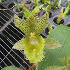 Clowesetum Jumbo Apollo (= Catasetum fimbriatum × Clowesia russelliana)