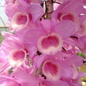 Dendrobium aphyllum × anosmum