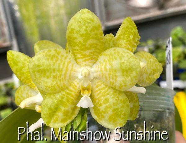 Phalaenopsis Mainshow Sunshine (Lyndon Ever Emerald x gigantea alba MS #3) Mainshow