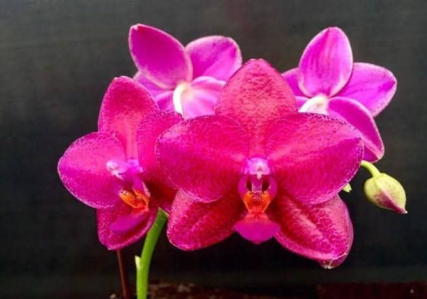 Phalaenopsis Mituo King 'Big Pink' (Clone) Mainshow