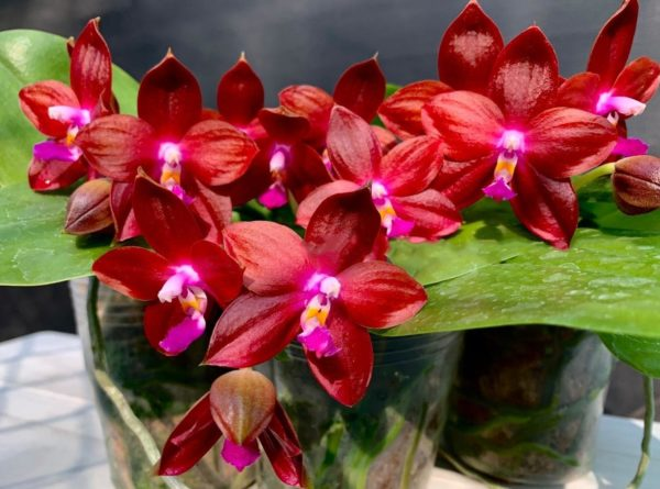 Phalaenopsis Tying Shin Fly Eagle 'Red' (clone) Mainshow