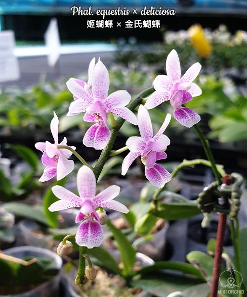 Phalaenopsis equestris × deliciosa