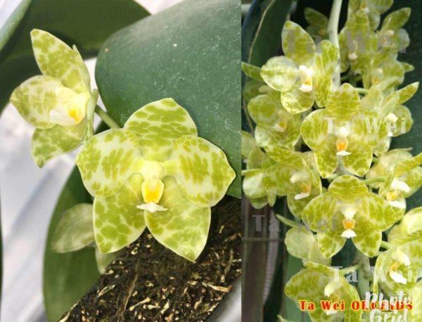 Phalaenopsis gigantea var.alba 'Prince' x gigantea var.alba 'Ta Wei' Mainshow