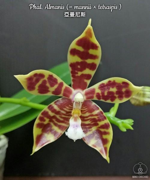 Phalaenopsis Almanis (= mannii × tetraspis)