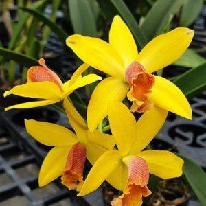 Brassolaeliocattleya Blc. Waikiki Gold × L. briegeri