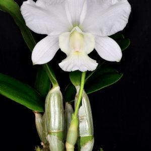 Cattleya walkeriana var. alba