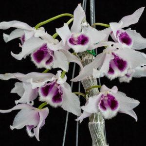 Dendrobium rhodopterygium var. semi-alba 'ch2'