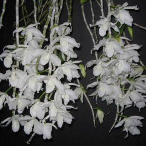 Dendrobium superbum var. alba