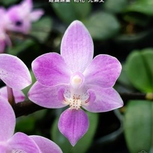 Phalaenopsis equestris 'Pink'