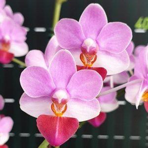 Phalaenopsis Liu's Triprince 'MK'