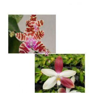 Phalaenopsis mariae × tetraspis 'C1'
